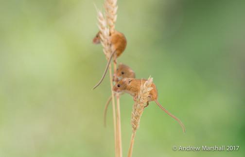Three Harvest mice explore