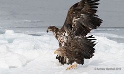 Adult and juv White tailed eagle