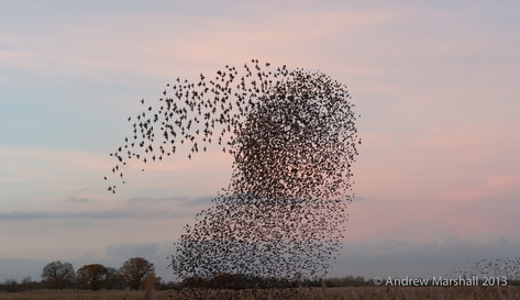 Starlings roosting