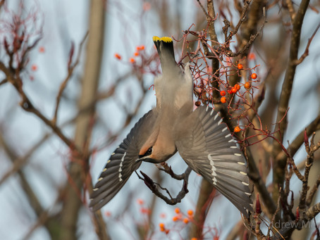 Waxwing winter!