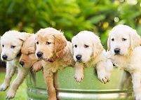 Adorable Group of Golden Retriever Puppi