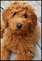 golden doodle puppy 22_edited.jpg