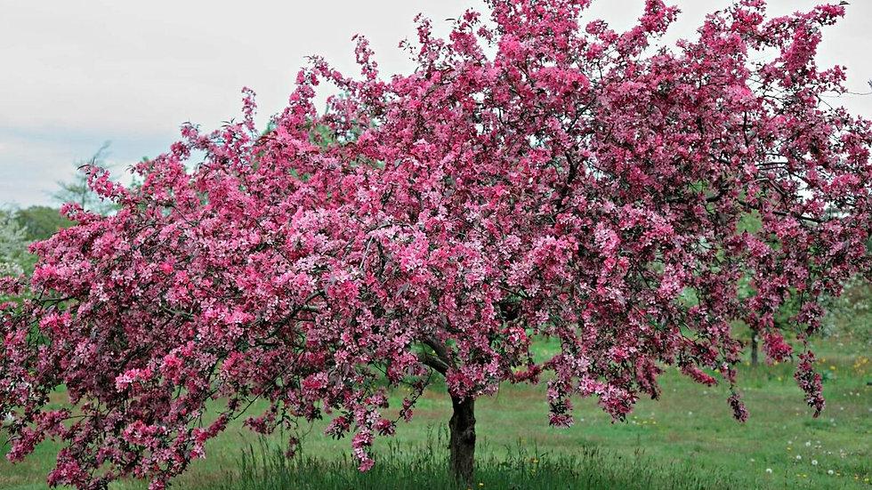 Яблоня пурпуровая Ранетка