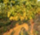 Chard. Helfering gepflanzt 196518.42.41