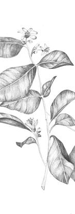 Botanikai illusztráció - Havasi Betti x MarGalliti Skincare