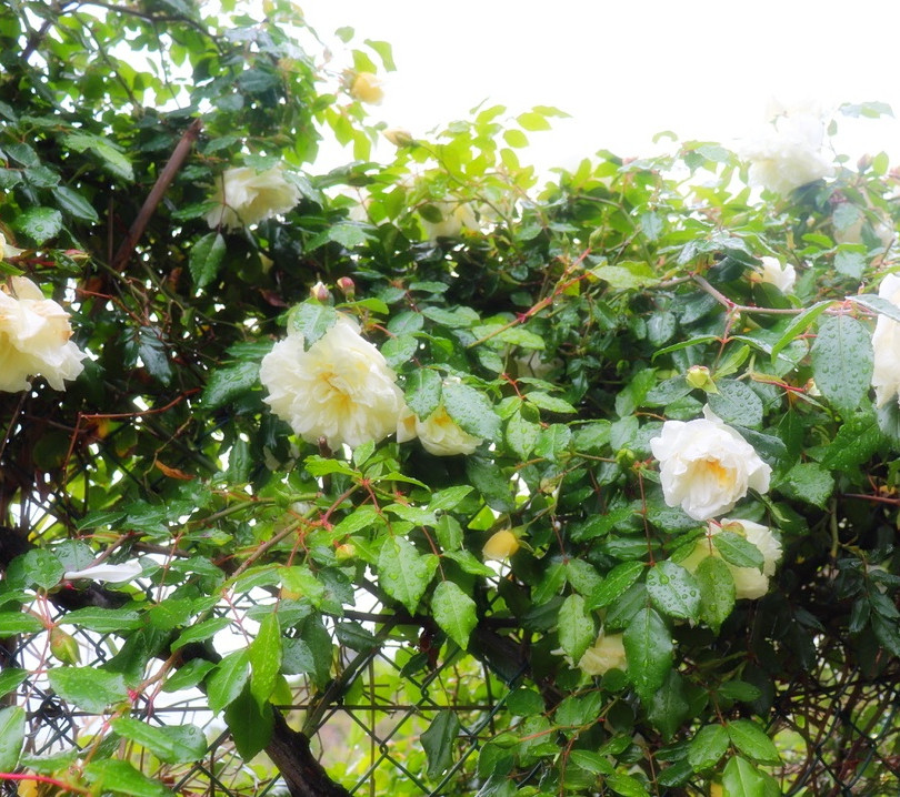 roses_aee.jpg