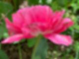 pink%20tulip%20May5_edited.jpg