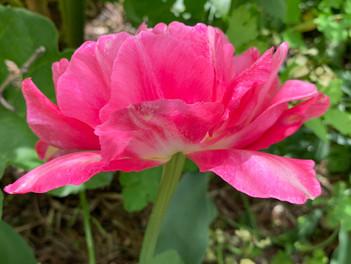 pink tulip May 5