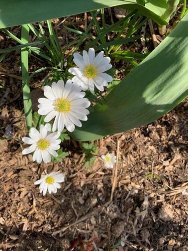 Anenome sylvestris April 12