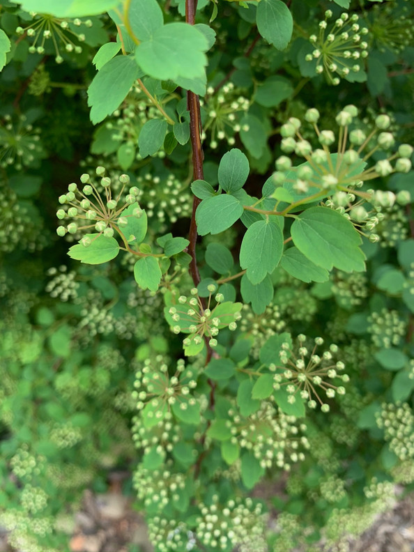 bridalwreath spirea (Spirea prunifolia) May 5