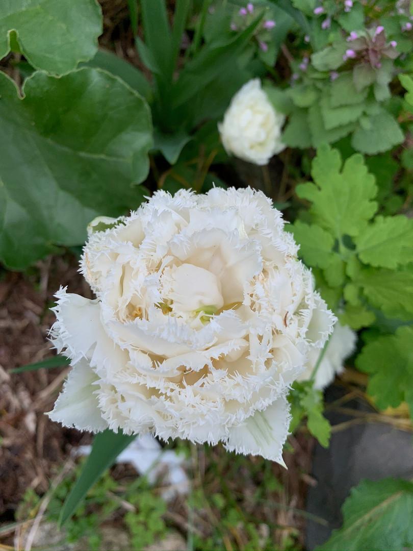 white ruffled tulip May 5