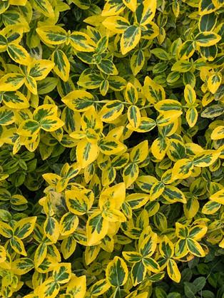 golden eunonymous (Eunonymous japonicus) May 5