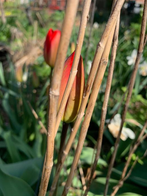 tulips April 12