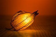 Illuminated Flower Bud