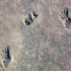 Trackway Permian Coconino Sandstone - He