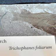 Florissant fish fossil.jpg