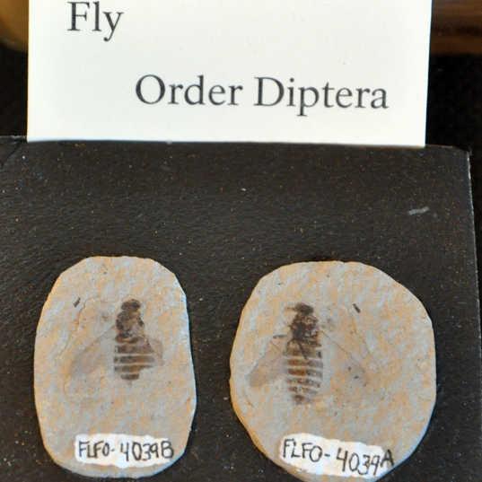 Florissant fossil fly.jpg