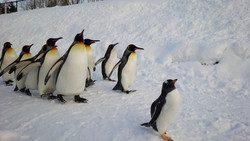 旭山ペンギン
