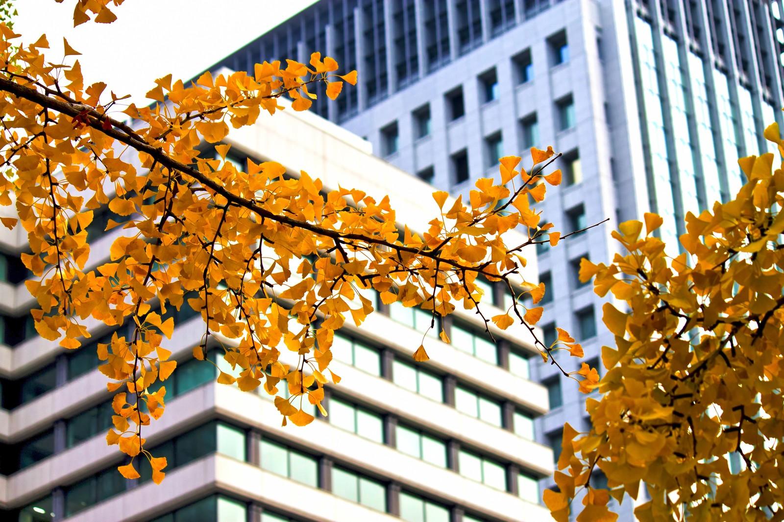 銀杏並木とビル
