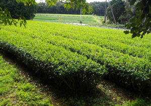 Green Tea Garden