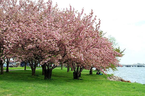 Six cherry blossom trees