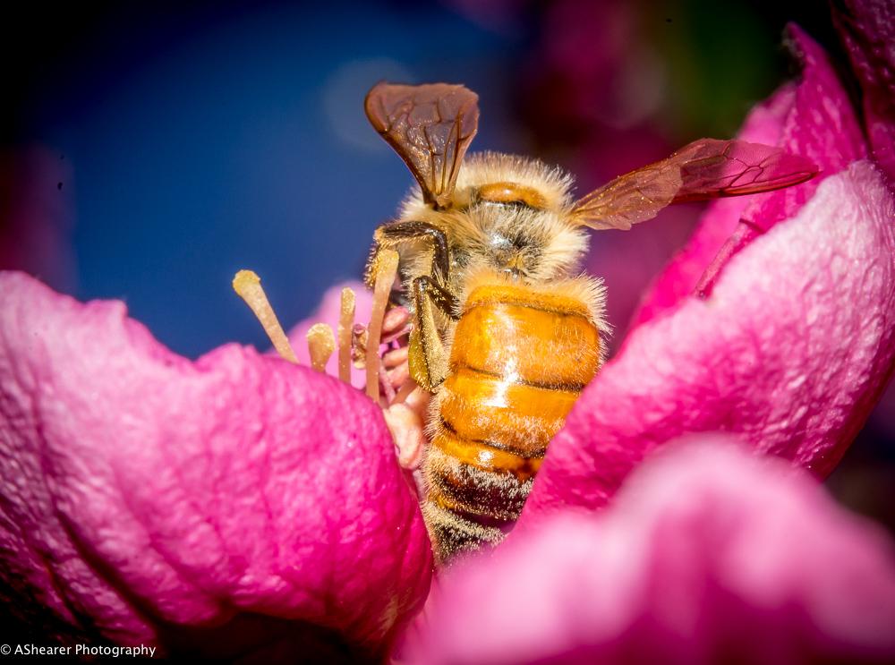 Honey Bee - Macro
