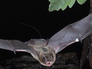 Telemetrie von Fledermäusen , Funkamateure als aktive Partner