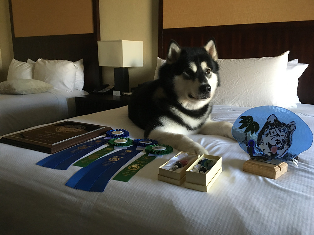 Lennon at nationals with all his obedience prizes.