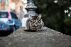 Un gatto a Castelgandolfo