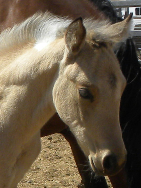 ode to color_trendy_color me quick cash_buckskin tobiano_homozygous4.jpeg