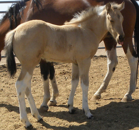 ode to color_trendy_color me quick cash_buckskin tobiano_homozygous5.jpeg