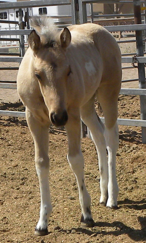ode to color_trendy_color me quick cash_buckskin tobiano_homozygous3.jpeg