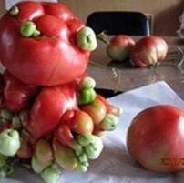 Radiation affected tomatoes after Fukushima Nuclear Catastrophe, 2013