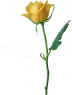 Large_Yellow_Rose_PNG_Clipart.png