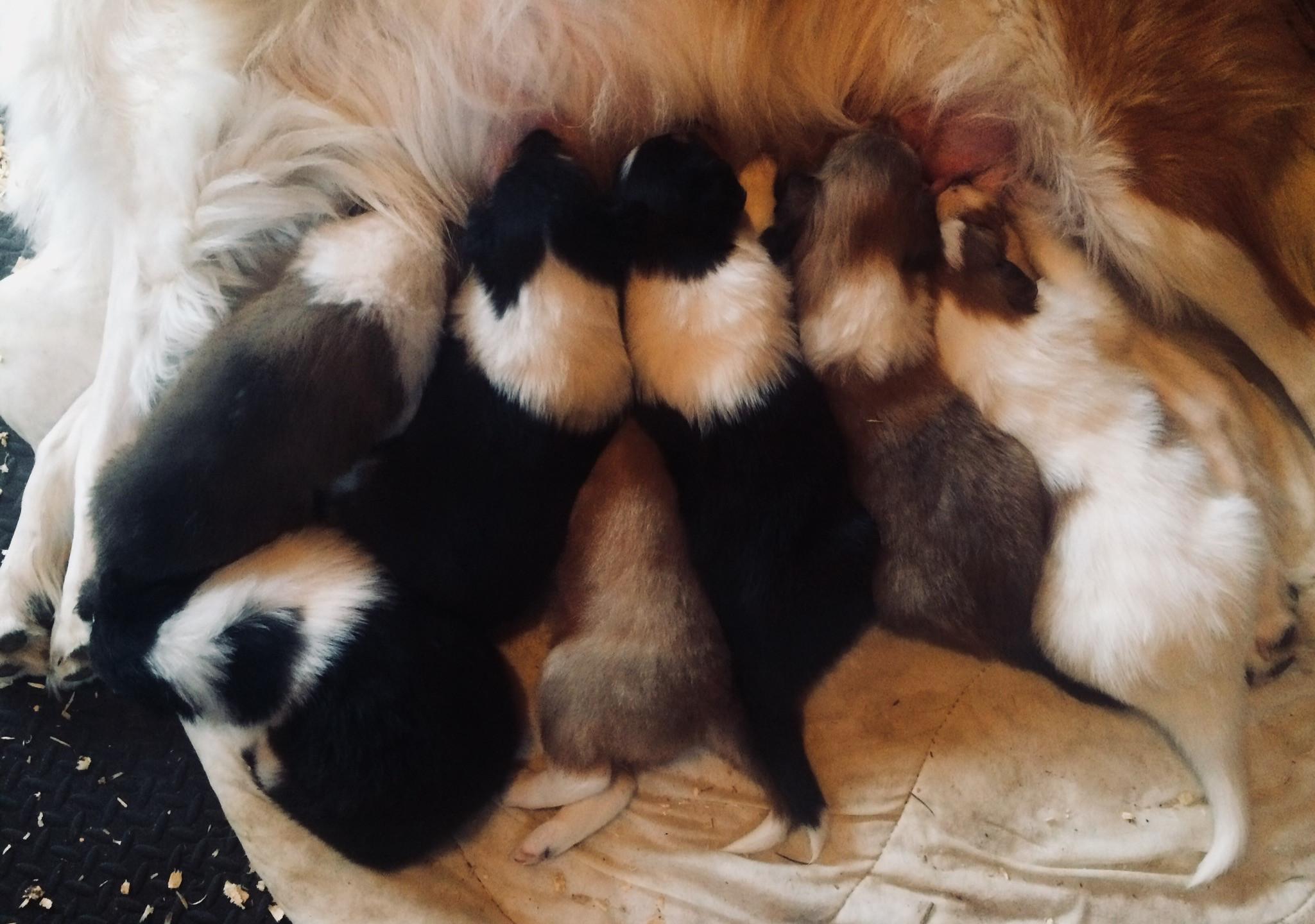 3 tri; 2 female, 1 male 3 sable; all female 1 white; male