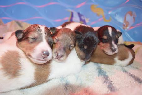 Vanilla Ice Puppies