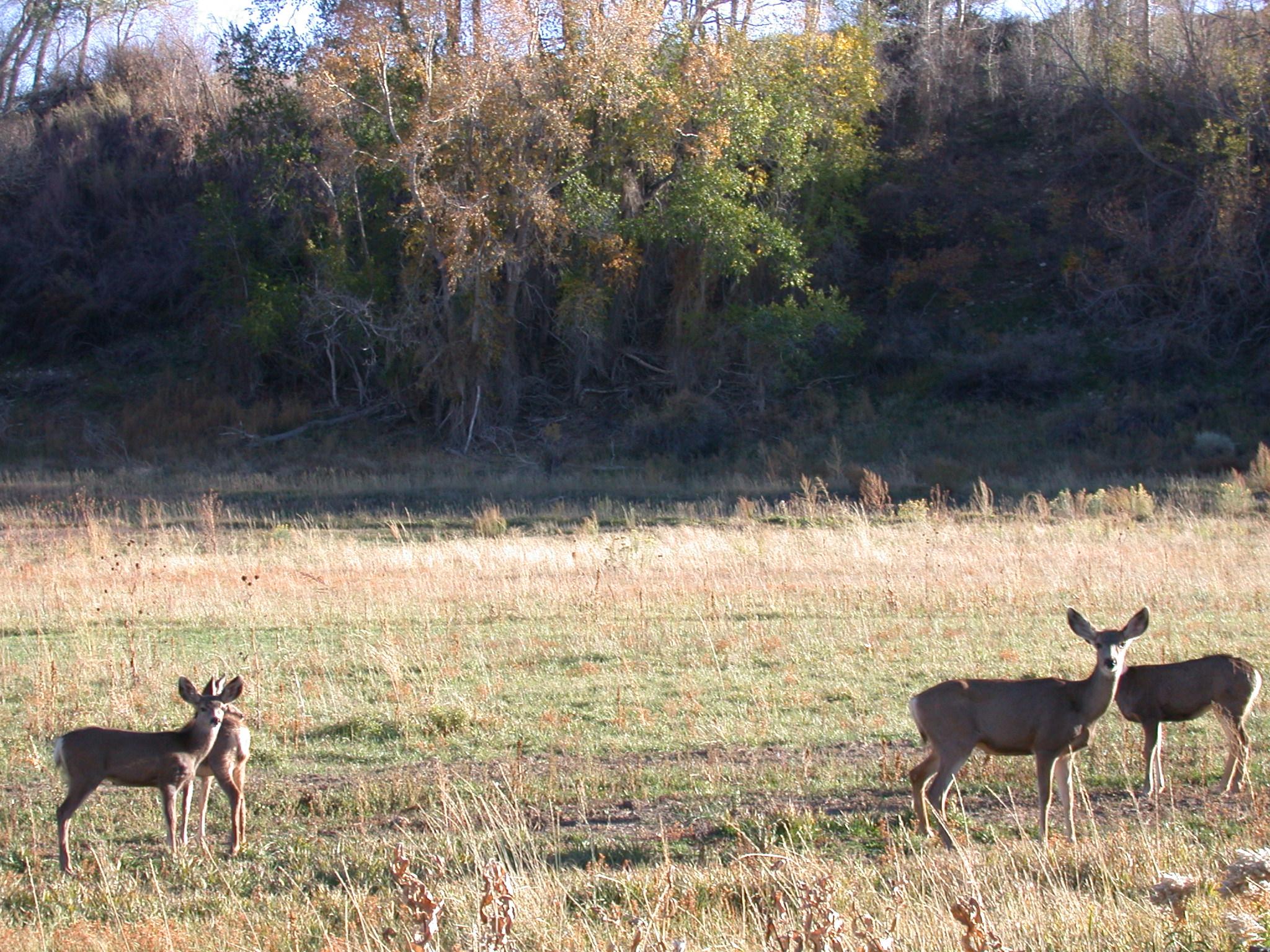 Beaver Creek deer