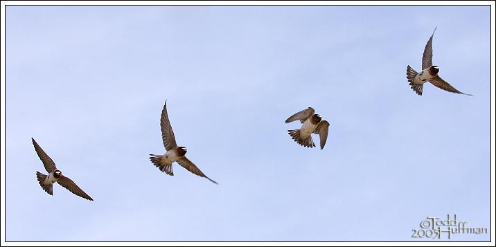 Four Swallows