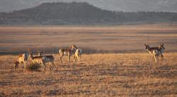 Prairie Pronghorn Herd