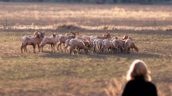 Carrizo Canyon Bighorn Sheep