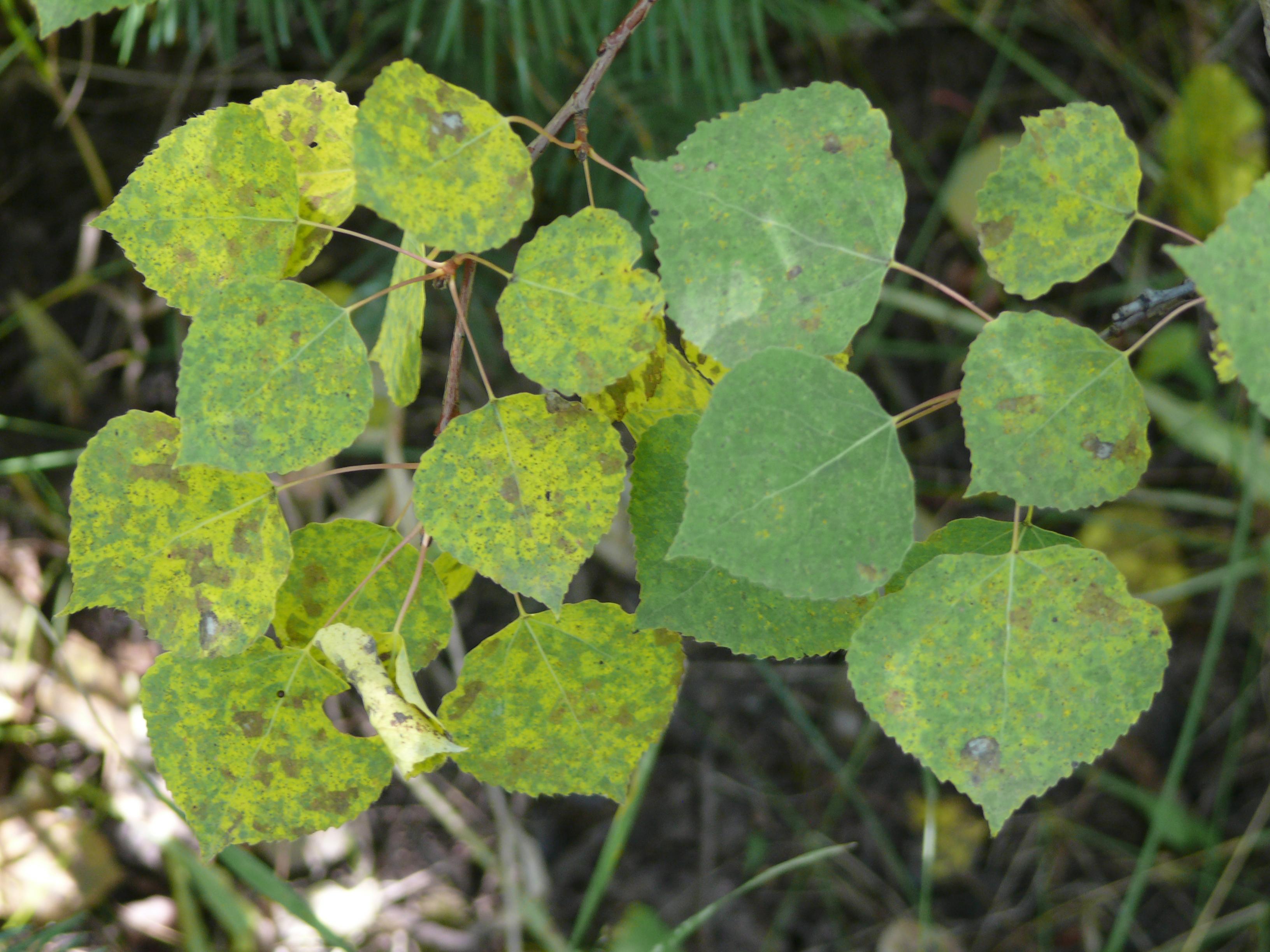 Aspen Leaves along the trail