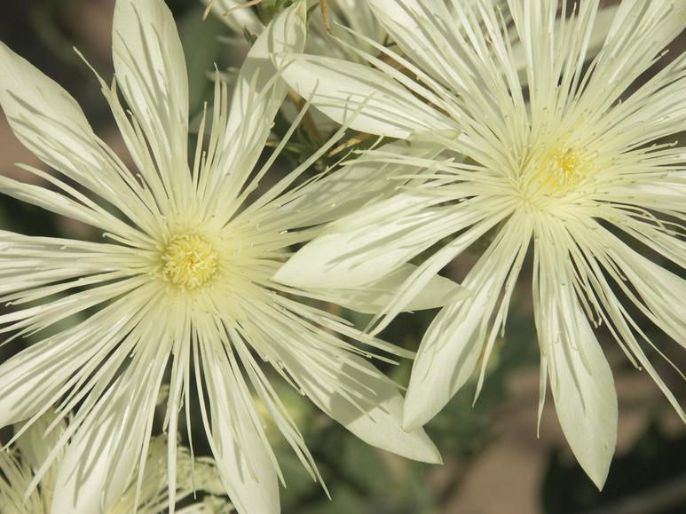 New Mexico Blazing Star