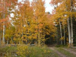 Trail through the Aspens