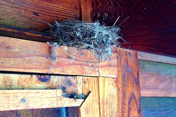 Cordilleran Flycatcher Nest