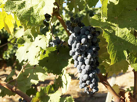 Governo da Madeira estima que produção de uvas em 2020 atinja 4.200 toneladas