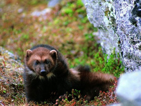 Where Are The Wolverines?