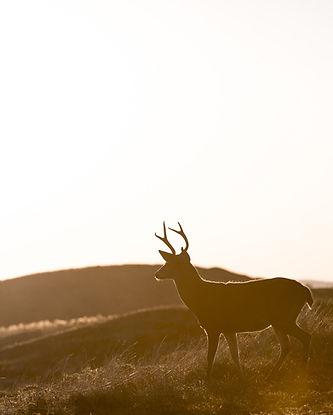 sring appeal deer.jpg