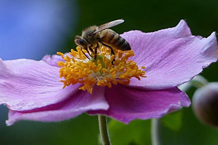 Pollinating Honey Bee