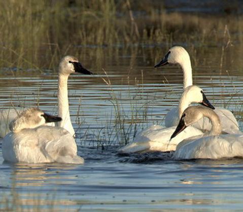 OWF Trumpeter Swan Restoration