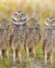 burrowing owls high res.jpeg
